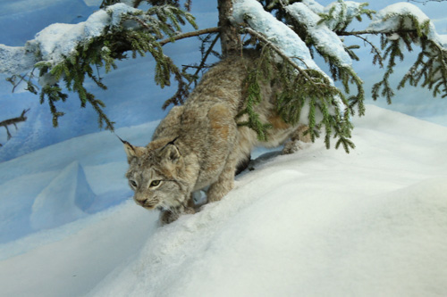 A Stuffed Lynx from the Royal Saskatchewan Museum taken by Tiffany Head